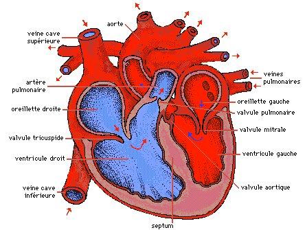 coupe longitudinale du coeur